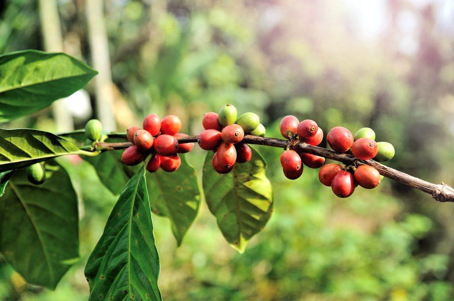 ジャコウネコ・コーヒーのおいしい作り方とフンの関係