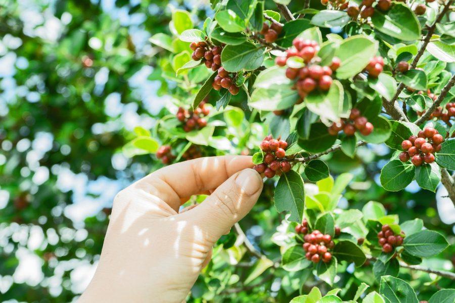 自分で育てたい!元気なコーヒーの木を栽培する方法